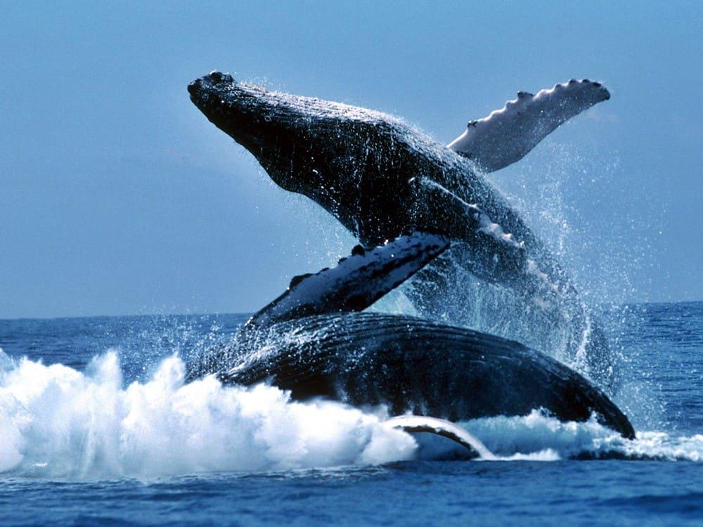 ballenas jorobadas, balene