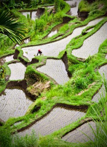 Crystal Cruises Balinese rice terraces