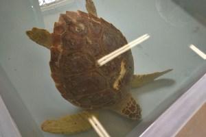 Tartaruga in cura al CRAMA